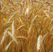 Genetic Modified Crops is Feb. 11 Topic