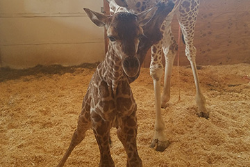 April the Giraffe Shares Cortland Connection