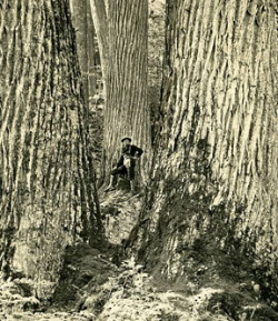 Saving the American Chestnut is Topic
