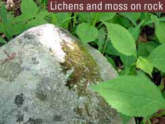 Lichens and moss on rock