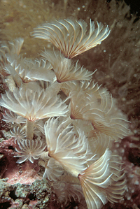Photo of Tube Worms